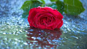 Red Rose In Water Free Download Image