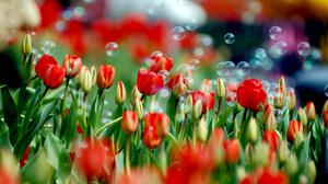 Tulips And Bubbles Hd Wallpaper Image High Quality