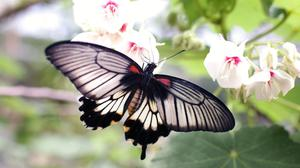 Gray Black Butterfly On White Flower HQ Image Free Wallpaper